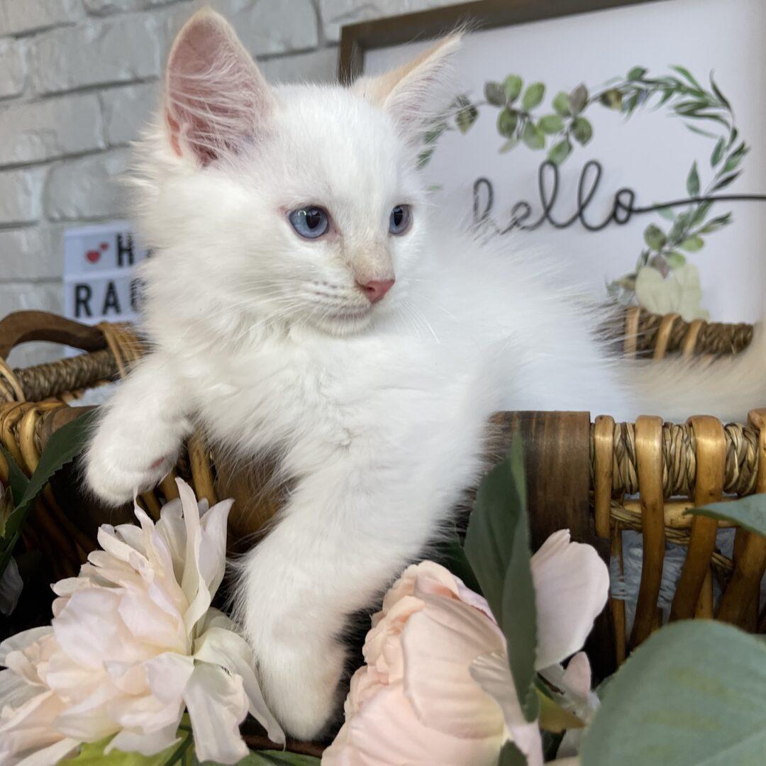 Male Flame Point Ragdoll Kitten born: 07/11/21