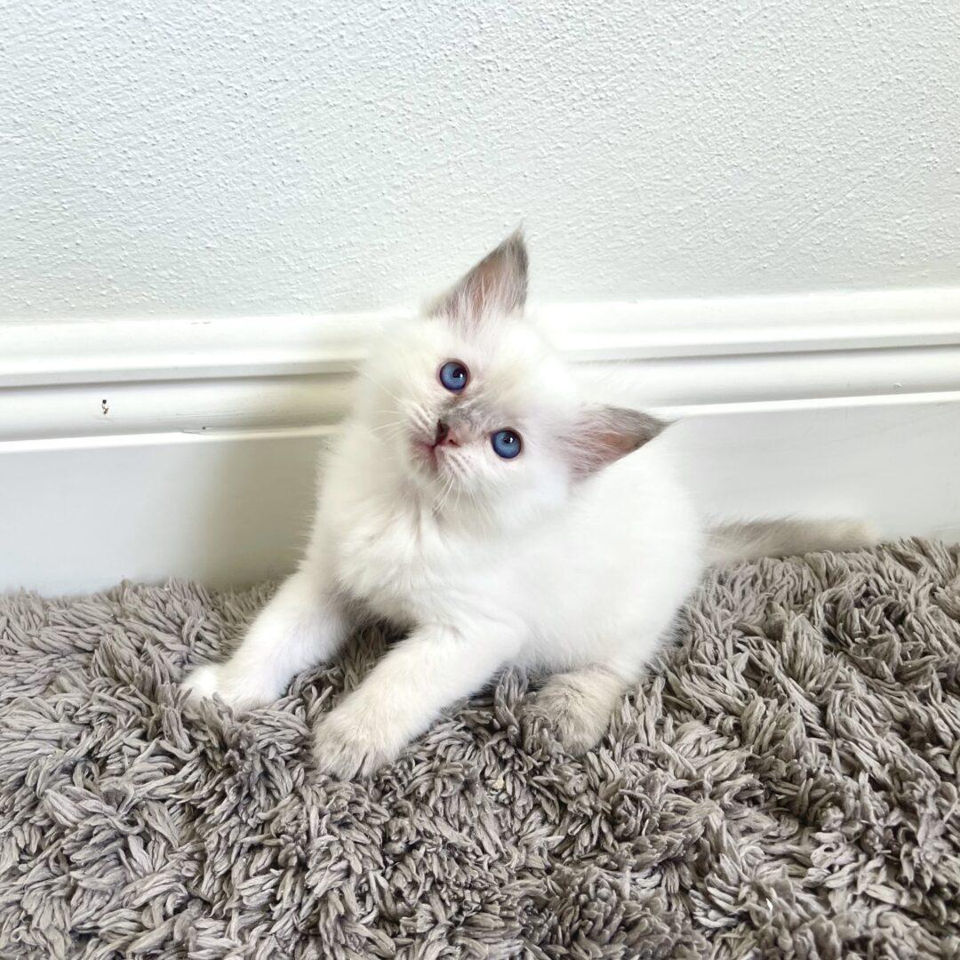 Female Lilac Lynx Point Ragdoll Kitten born: 07/11/21