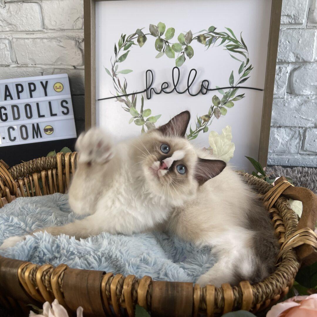 Male Chocolate Bi-Color Ragdoll Kitten born: 06/27/21